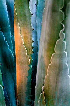 Cactus at Dawn