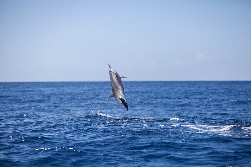Spinner Dolphin #2