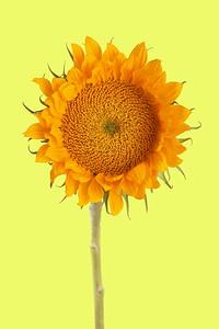 Sunflower IMG_8452