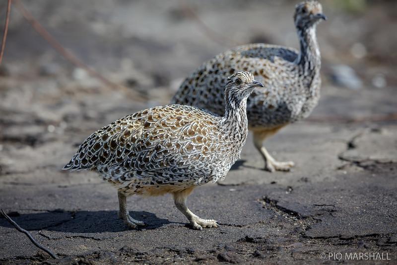 Perdiz austral    Tinamotis ingoufi     Patagonian Tinamou