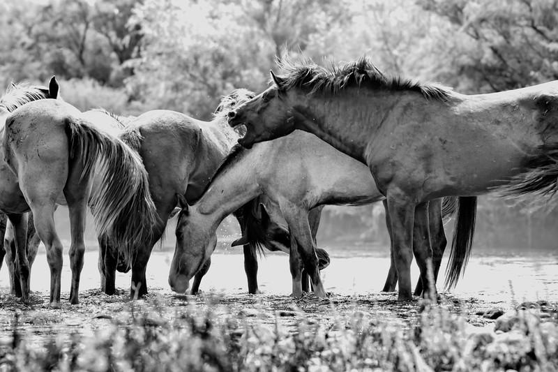 Wild Salt River Horses
