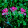 Rosy Paintbrush, Lawn Lake, RMNP