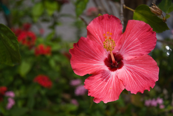 Hibiscus (maybe?)