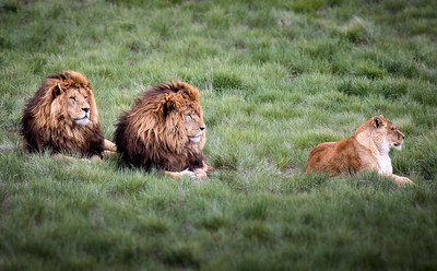 Lions in the Meadow