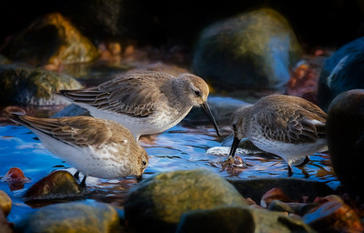 cbr_open_3sandpipers-180226