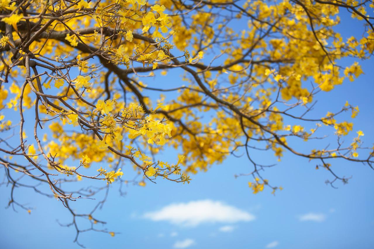 Jacaranda Tree #3