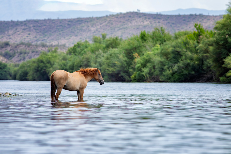 Wild Horse Cooling off in the Salt River