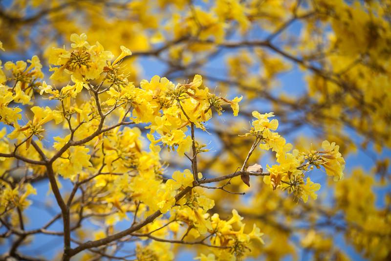 Jacaranda Tree #4