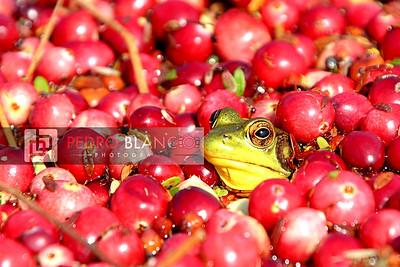IMG_0151 Bog Frog