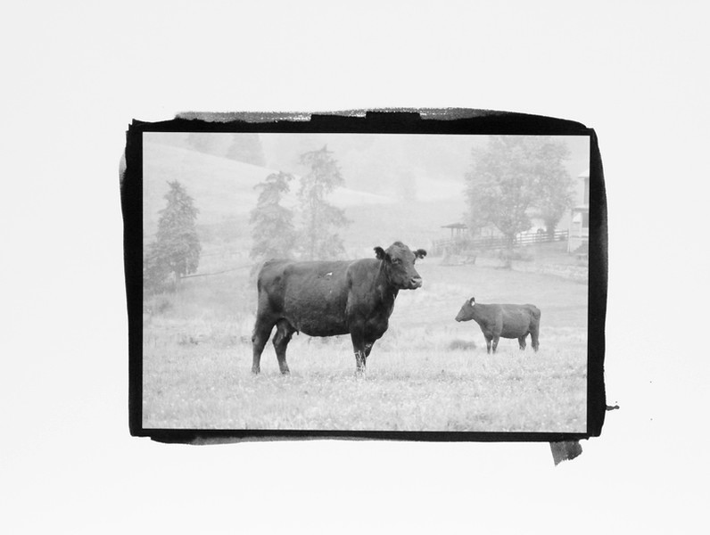 Cows, Rockbridge Co, Pt/Pd