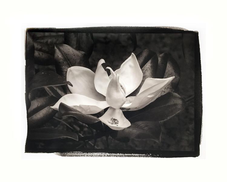 "Magnolia 1           mat/frame 14x16"""