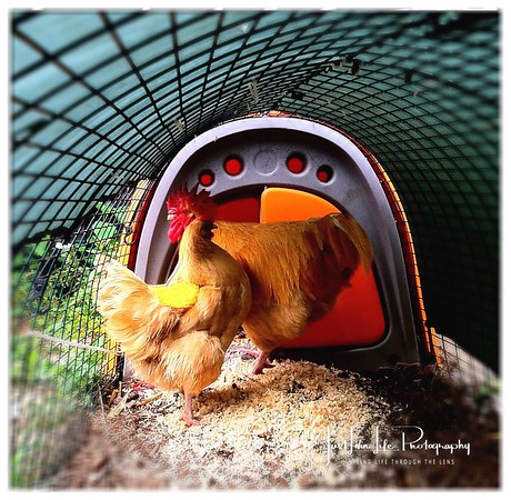 """French """"Tony"""" Chicken and Rooster"""
