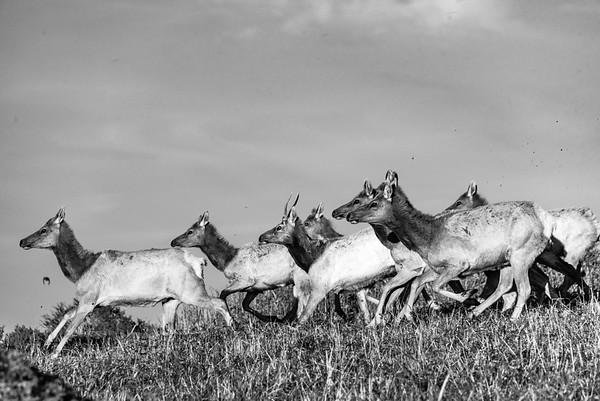 Tule Elk Point Reyes-9181-2