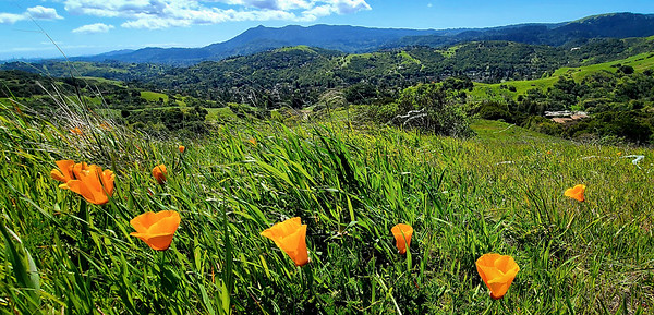 Mt  Tam poppies Del Ganado-131420-2