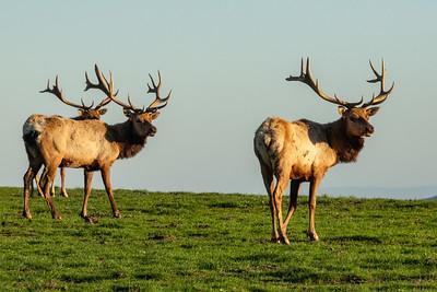 Pt  Reyes seals elk-9233