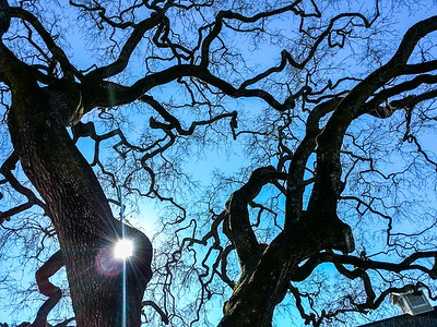 Napa Oak silhouette copy