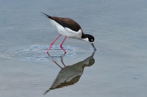 Corte Madera shore birds-9329-2