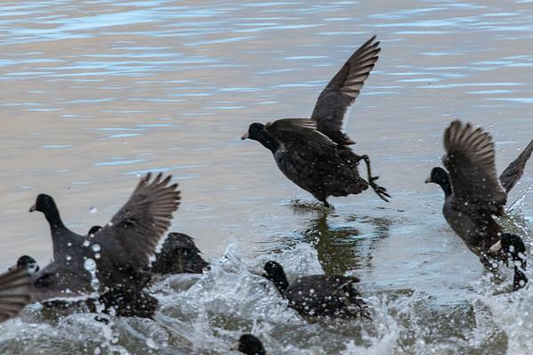 Corte Madera shore birds-9387-2