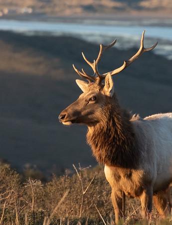 Tule Elk Point Reyes-9158