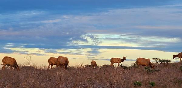 Pt  Reyes Elk
