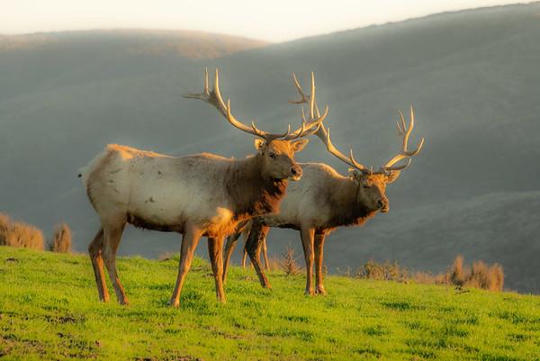 Pt  Reyes seals elk-9278