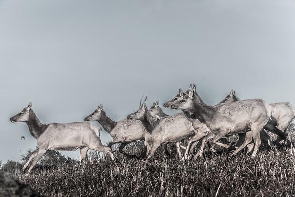 Tule Elk Point Reyes-9181-3