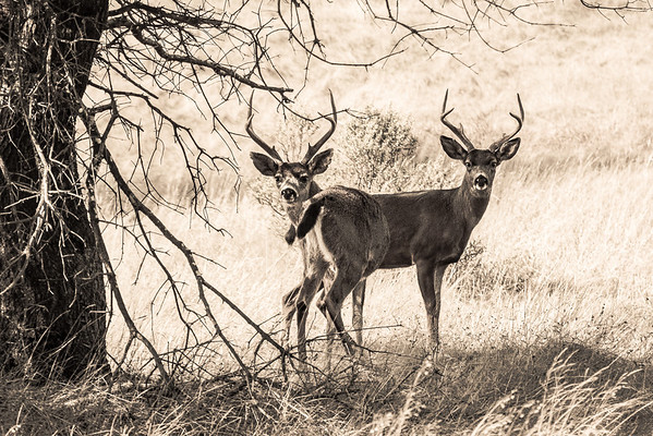 Black-Tailed Deer monochrome-0496
