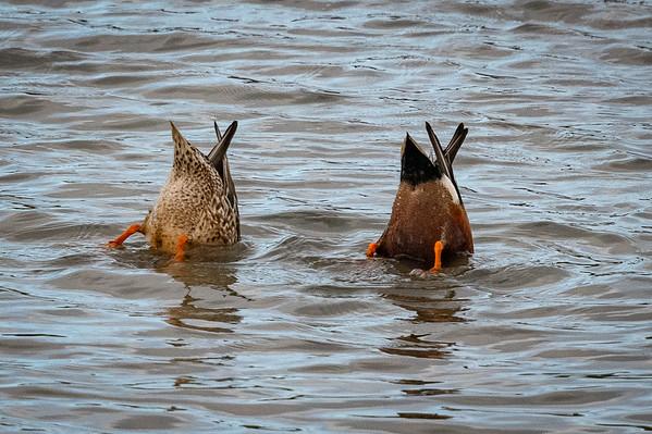 Corte Madera shore birds-9393-2