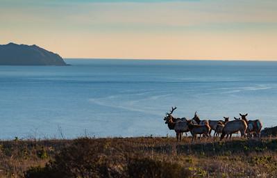 Tule Elk Pt Reyes sunset-9200