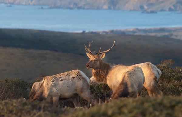 Tule Elk Point Reyes-9141