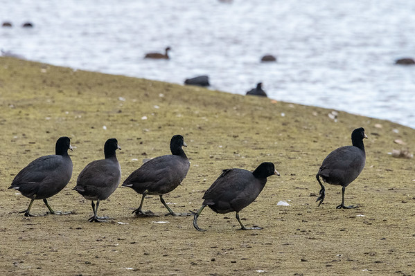 Corte Madera shore birds-9377-2
