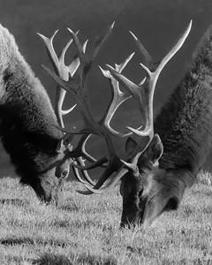 Pt  Reyes seals elk-9269-2