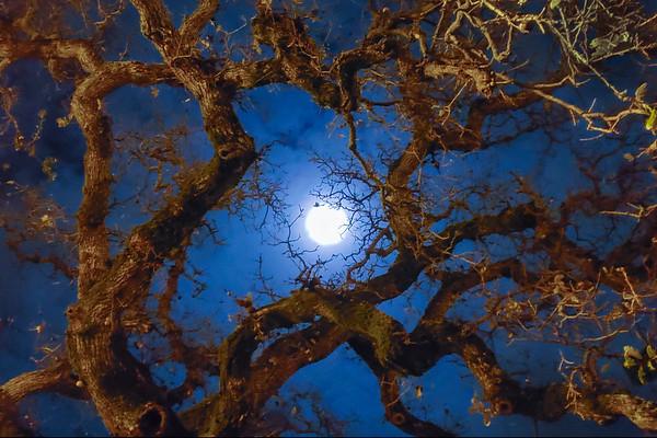 Full Moon Gnarly Oak-190452801