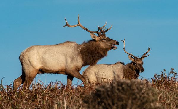 Tule Elk Point Reyes-9111