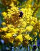 2010 Dinkey Creek Wild Flowers 2010-08-09 22-42-37 42