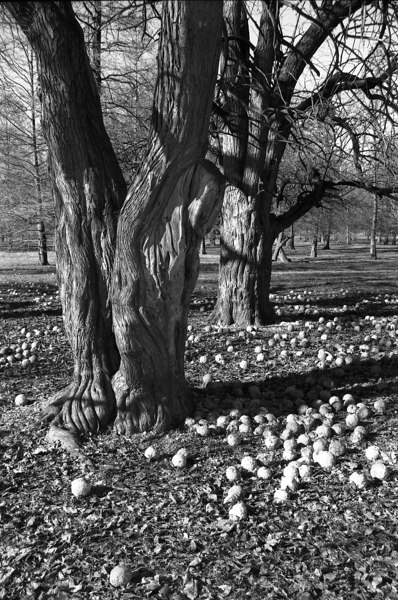 Osage Orange Trees, Tower Grove Park, St. Louis, MO.