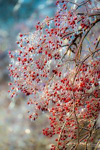 Winter berries in ice, 2