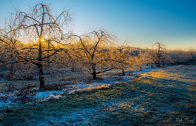 Icy dawn in the orchard