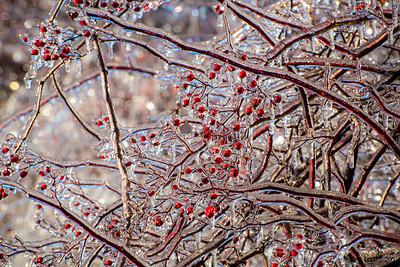 Winter berries in ice, 1