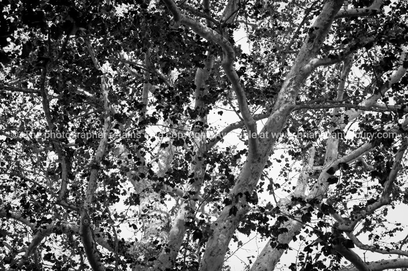 View through a tangle of branches in large tree with white bark and silhouette leaves creating contrast in monochrome.