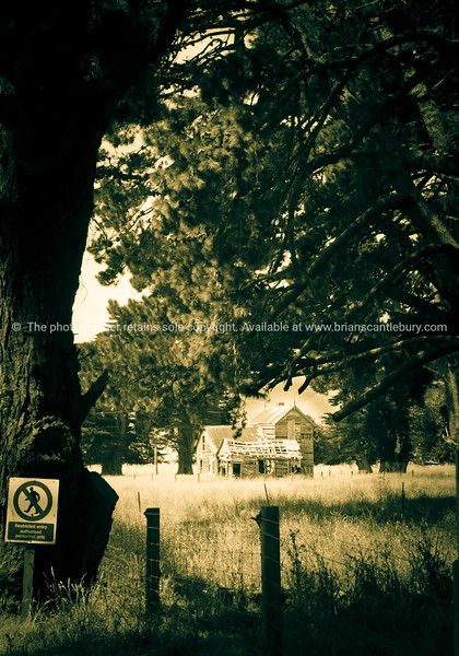 Old deserted farm house amongst large pine trees