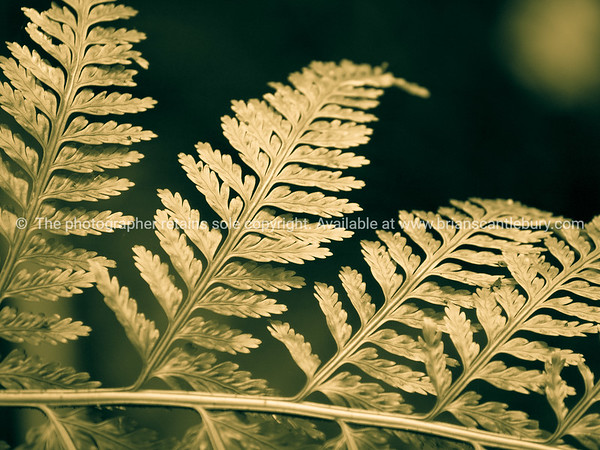 Fern frond closeup