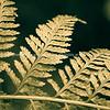 Fern frond closeup