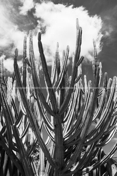 Tall green candelabra cactus i n Auckland Botanical Gardens