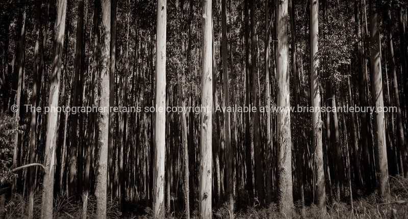 Tall trees on Hamakua Coast, eucalyptus trees.