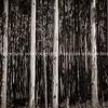 Tall trees on Hamakua Coast, eucalyptus trees.
