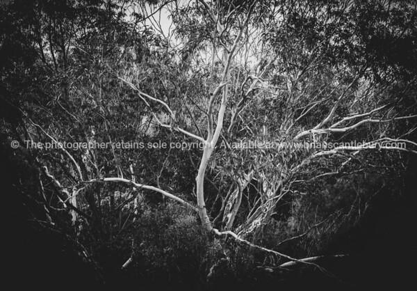Contrasting white stems against darker foliage of Australian gum trees in monochrome.