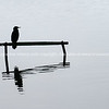Little shag through the mist perching over calm water
