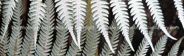 Silver fern frond underside