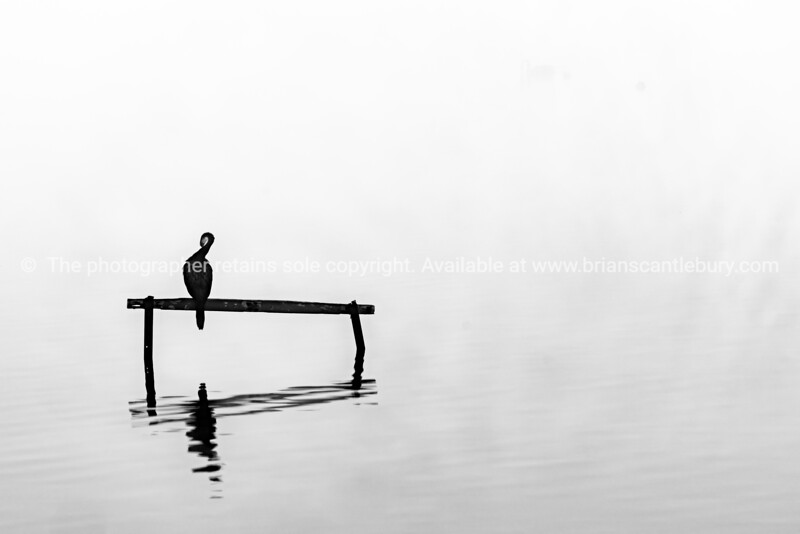 Little shag or cormorant perched on stand in calm water surrounded by mist